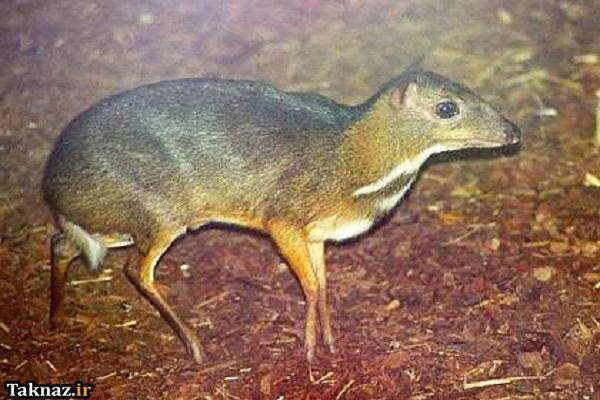 image حیوان موش آهو چیست