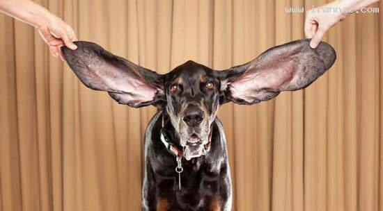 image عکس بزرگترین گوش سگ در کتاب رکوردهای گینس