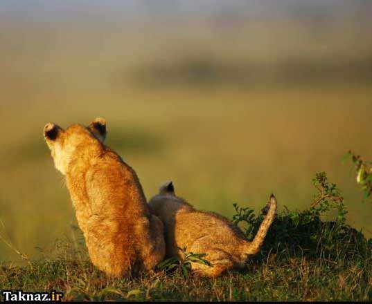 image عکس های زیبا از یک بچه شیر بامزه