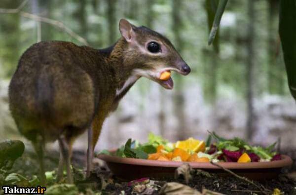 image, حیوان موش آهو چیست