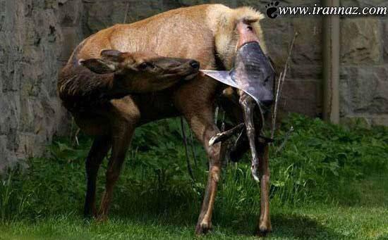 image تصاویر لحظه به لحظه از تولد یک بچه آهو