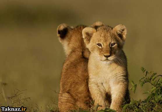 عکس, عکس های زیبا از یک بچه شیر بامزه