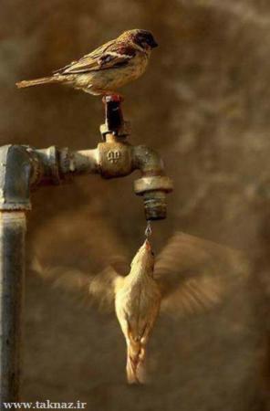 image عکسی بی نظیر از لحظه آب خوردن یک پرنده در حال پرواز