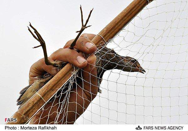 image گزارش تصویری از شکار بلدرچین در گیلان