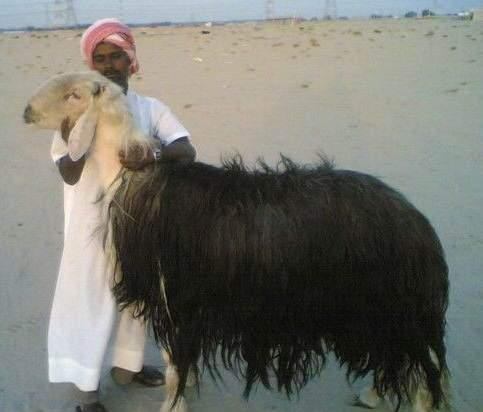 image عکس بامزه ار بزرگترین گوسفند در جهان
