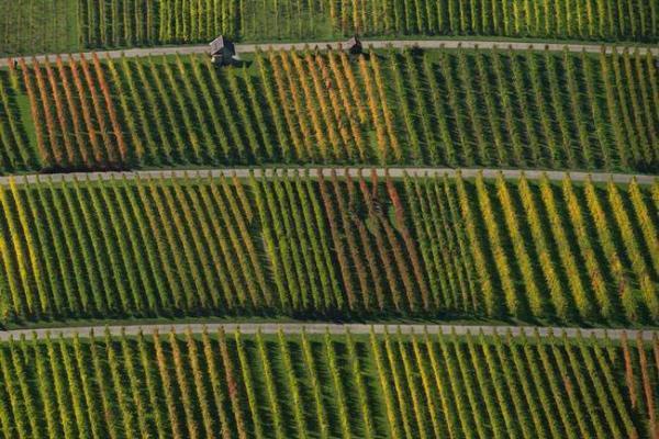 image باغ های انگور در نئوفن آلمان