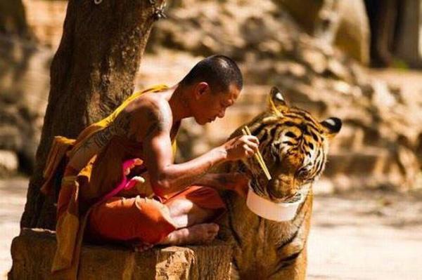 image یک راهب بودایی در حال غذا دادن به ببر