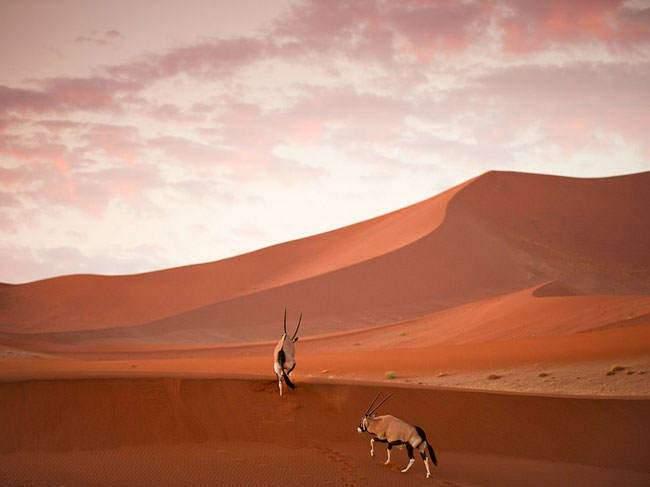 image غزال آفریقایی در صحرایی در نامیبیا