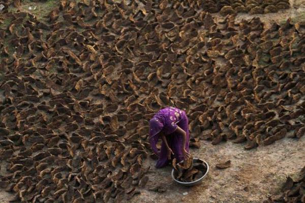 image زن هندی در حال جمع آوری پهن خشک شده گاو برای مصرف سوخت