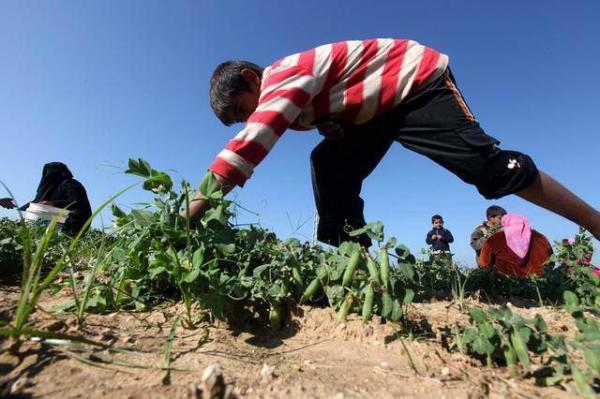 image برداشت نخود فرنگی در نزدیکی مرز غزه و اسرائیل