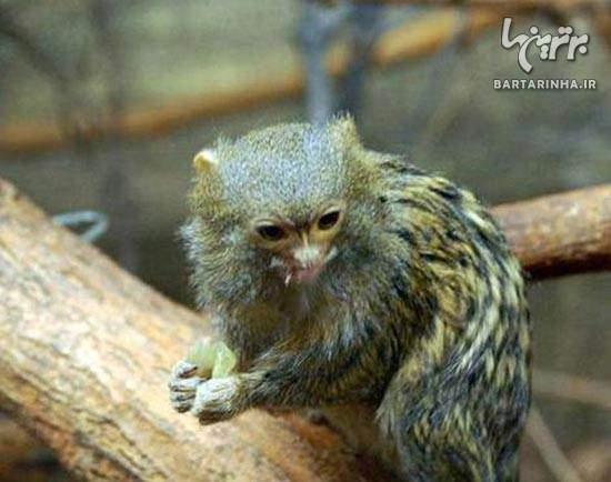 image عکس های دیدنی از دوست داشتنی ترین میمون های بند انگشتی
