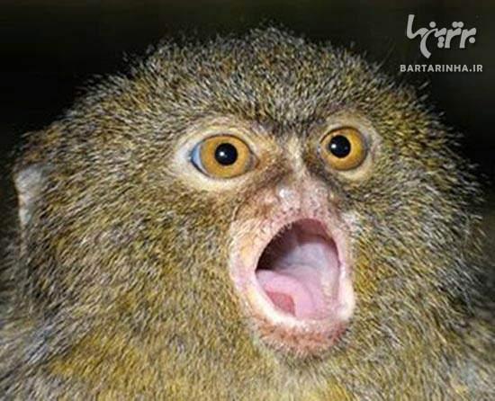عکس, عکس های دیدنی از دوست داشتنی ترین میمون های بند انگشتی