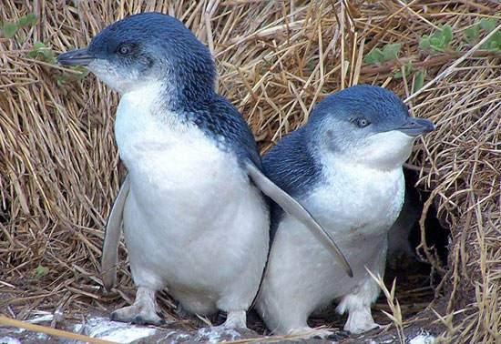 image گزراش تصویری و معرفی گونه های مختلف پنگوئین در جهان