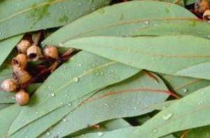 image خواص کامل و جالب گیاه اکالیپتوس برای حیوانات