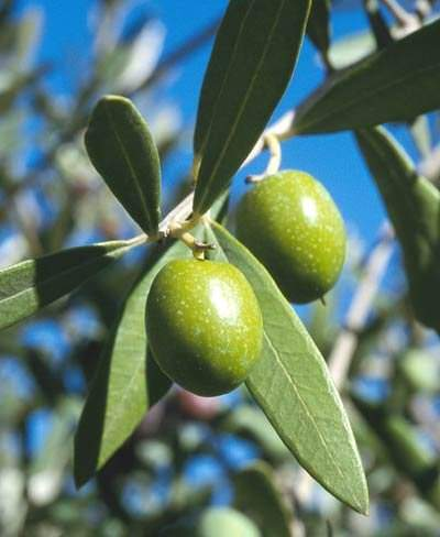 image اثرات مفید برگ درخت زیتون بر روی لاغری سریع و درمان سرطلان