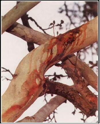 image درخت خونبار کجاست