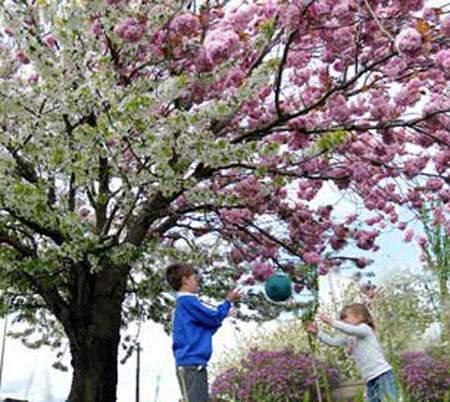 image عکس های یک درخت گیلاس با شکوفه های بهاری صورتی سفید