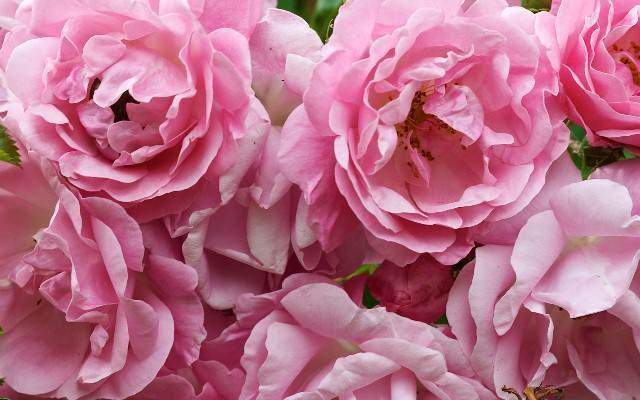 image, آموزش کاشت و نحوه پرورش گل های محمدی در حیاط خانه