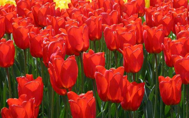 image آموزش کاشت گل لاله در گلدان و حیاط خانه