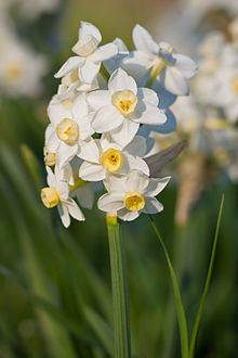 image آموزش کاشت گل نرگش در باغچه یا گلدان های خانگی