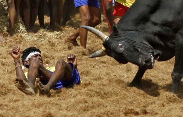 image جشنواره رام کردن گاو در هند