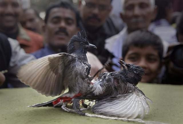 image جنگ پرنده ها در هند