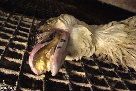 image تصاویر تکان دهنده کشتار وحشیانه اردک ها توسط مک دونالد