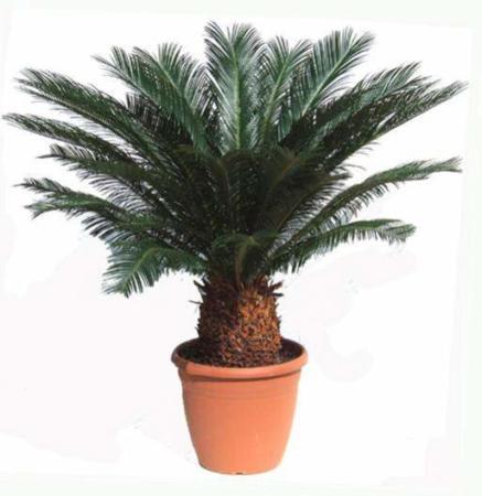 image نحوه کاشت و مراقبت از گیاه زیبای سیکاس