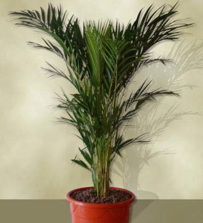 image آشنایی با نحوه کاشت تکثیر و نگهداری گیاه اریکا پالم