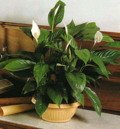 image, راهنمای جامع کاشت و تکثیر گیاه اسپات فیلوم در آپارتمان