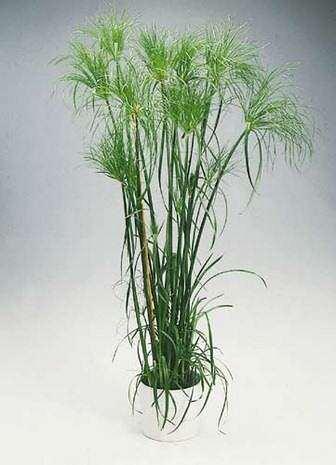 image نحوه نگهداری و کاشت گیاه نخل مرداب