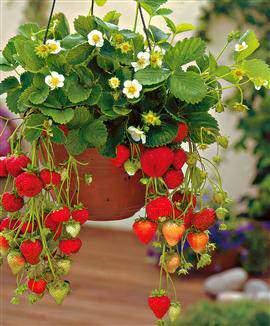 image, چطور میتوان در باغچه خانه تو فرنگی کاشت