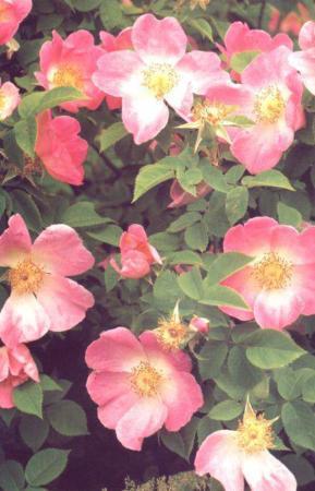 image بهترین خاک برای کاشتن گل رز کدام است