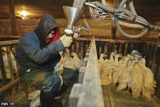image, تصاویر تکان دهنده کشتار وحشیانه اردک ها توسط مک دونالد