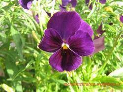 image آموزش کاشت و پرورش گل های زیبای بنفشه در حیاط و گلدان