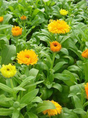 image آموزش کاشت گل همیشه بهار در گلدان و باغچه