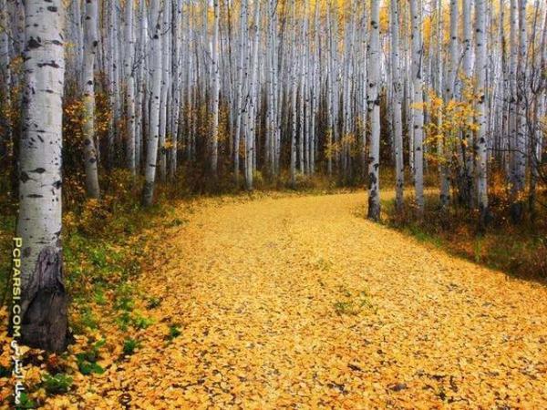 image جنگل آسپن در کلرادو آمریکا