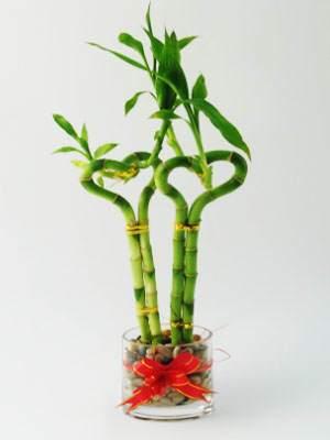 image نحوه کاشت تکثیر و نگهداری از گیاه شیک و آپارتمانی بامبو