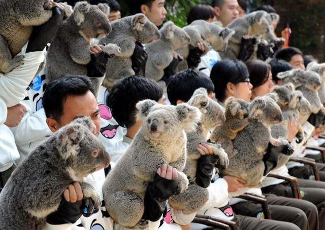 image عکس یادگاری کوالاها در سافاری پارک گوانگ ژو چین