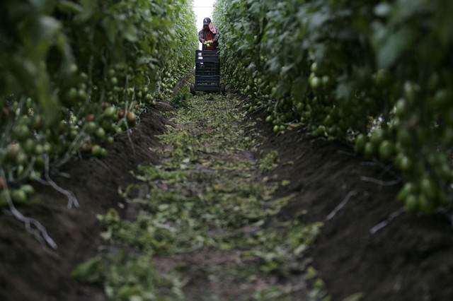image مزرعه کشت گوجه فرنگی در مکزیک