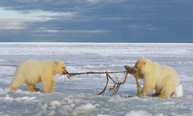 image بازی دو خرس قطبی در آلاسکا با بقایای پوست یک نهنگ