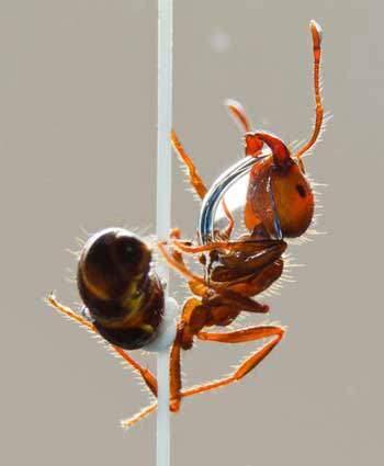 image واقعا روغن مورچه خاصیت دارد