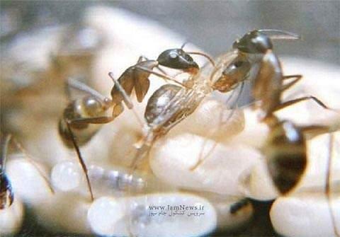 image تصاویری دیدنی از لحظه تولد یک مورچه