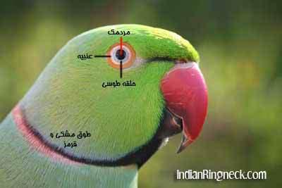 image کامل ترین مقاله اینترنتی درباره غذا سرگرمی و سلامتی طوطی