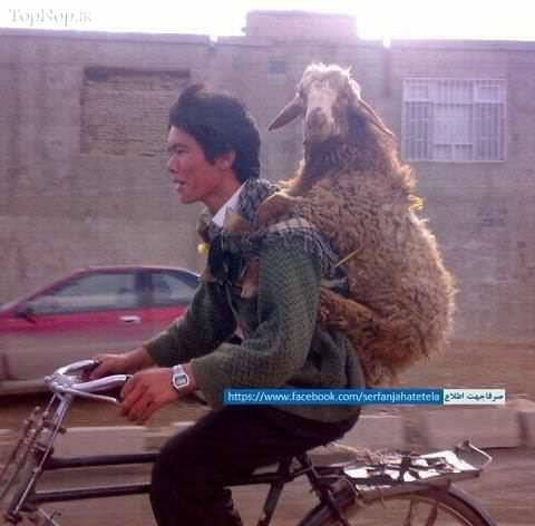 image یک گوسفند دوچرخه سوار حتما ببینید