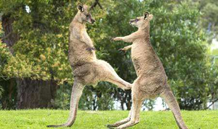 image, جنگ و جدال کانگروها با دم های قوی استرالیا