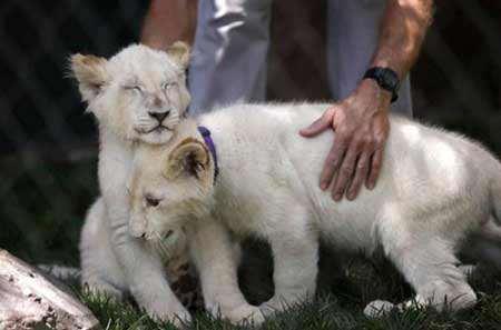 image یک جفت بچه شیر سفید کمیاب در لاس وگاس