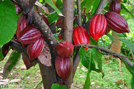 image عکس های زیبا از میوه ها و درخت کاکائو