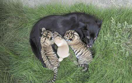 image مراقبت سگ مادر در چین از دو بچه ببر یتیم