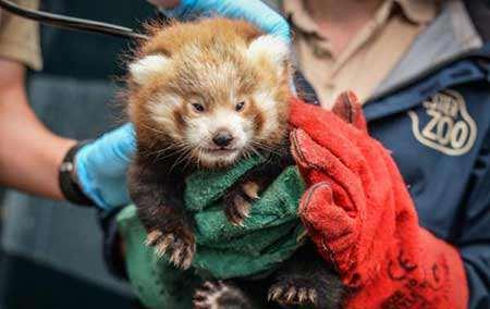image, بچه پاندای قرمز بسیار کم یاب در باغ وحش چستر